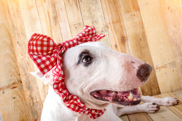 English bull Terrier shooting portrait on wooden floor and backg