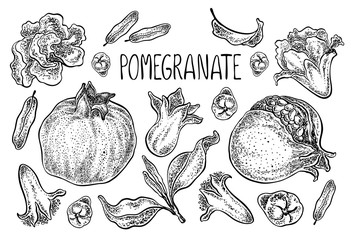 Pomegranate set. Vector hand drawn illustration. Sketchy style.