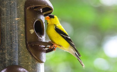 Little Yellow birds - American Goldfinches (Spinus tristis) feeding at a seed feeder as they migrate to make their new homes.