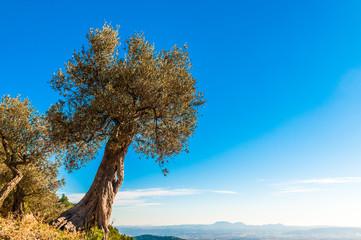 Alter Olivenbaum auf Mallorca