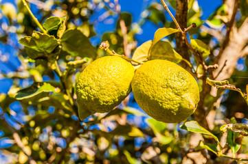 Zwei Zitronen an einem Zitronenbaum