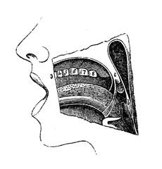 Anatomy, oral cavity vintage engraving