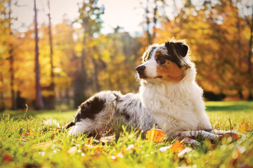 Australian Shepherd puppy in the autumn forest