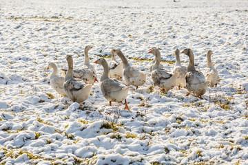 Серые гуси на белом снегу