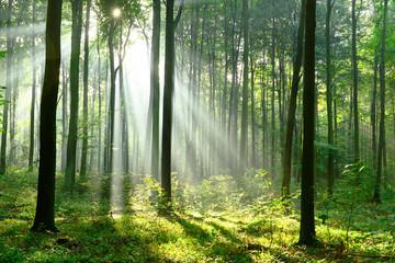 Rano w lesie - 126967467
