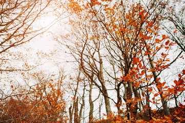 Branches of red beerch trees in autumn forest.