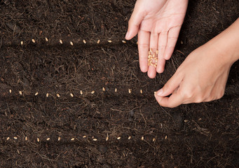 Hand seeding for planting  into soil,Wheatgrass Seeds