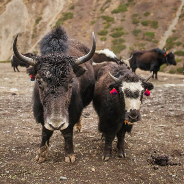 Domestic yak in the village of Nepal