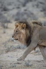 Ausgewachsener Kalahari Löwe im Kgalagadi Transfrontier Park, Südafrika, in der Nähe von einem Wasserloch