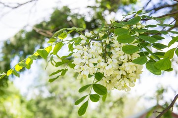 Flowers of a white acacia