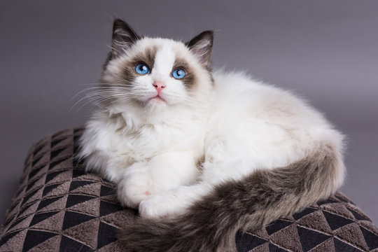 Ragdoll kitten looking up on a pillow