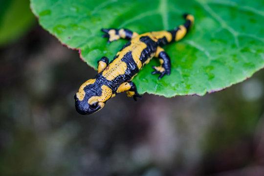 La salamandre tacheté