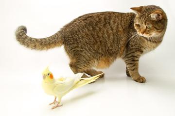 British Shorthair cat and Corella parrot yellow