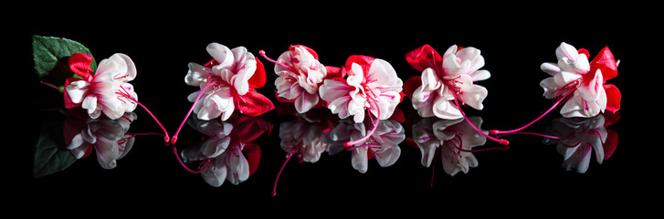 Beautiful fuchsia flowers with reflection on black background