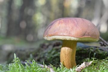 Steinpilz im Siegerländer Wald