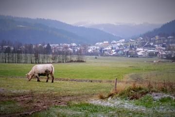 hutisko_cow_02