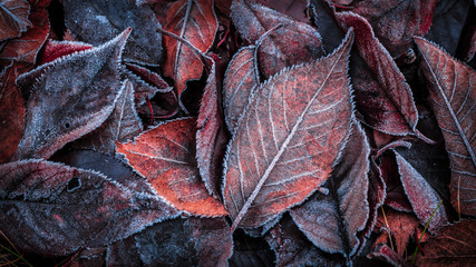Autumn leaves covered with frost - background