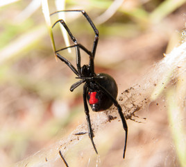 Black Widow spider outdoors, with her red hourglass marking visible on the abdomen