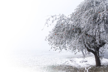 Apple tree with red apples and hoar frost on the branches in the snowy landscape