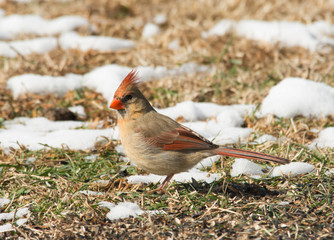 Female Northern Cardinal looking for seeds on the ground in winter