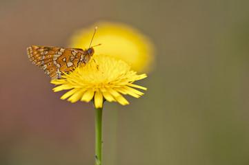 orange butterfly feeding on yellow marigold