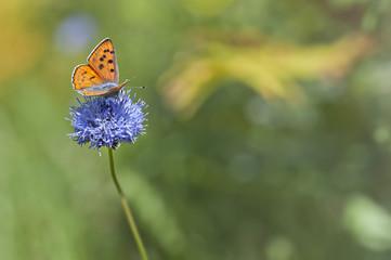 orange butterfly feeding on blue flower