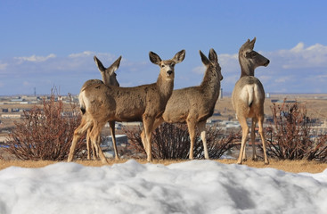 Four young deer on the hill over city