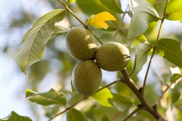 Three walnuts hanging on branch.