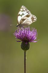white butterfly feeding in a pink flower