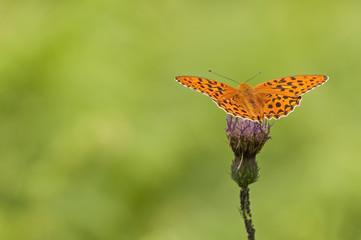 orange butterfly feeding in a pink flower