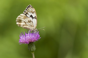 white butterfly feeding in a pink flower