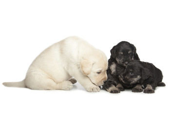 Wall Mural - Labrador and Miniature Schnauzer black puppies