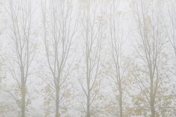 Chopos y niebla en otoño. Populus.