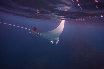 Diving with giant oceanic manta ray