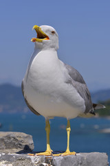 Yellow-legged Gull (Larus michahellis) on rock seen of front with the open beak in Italy