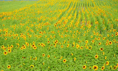 Sunflowers Field Stock Photo. Sunflowers Field.  Sunflower Farm.