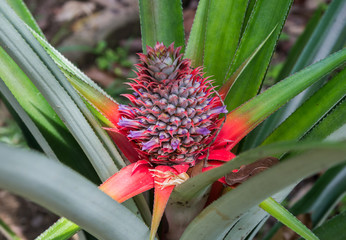 Pineapple ripens in the middle of the green and red of long leaf (Singapore)