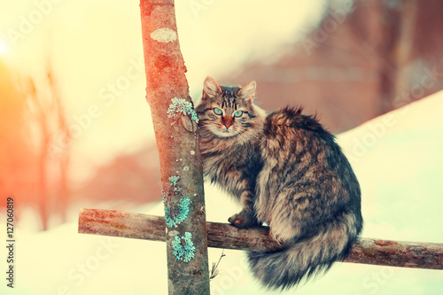 Siberian cat sitting on a fence