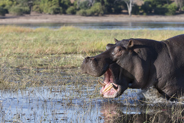 Hippo on the Chobe River area at Kasane, Botswana