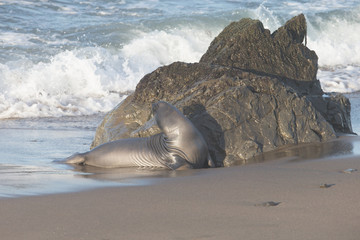 Northern Elephant Seal at Rookery on California Coast