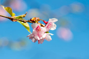 Pink sakura blossoms Background sky