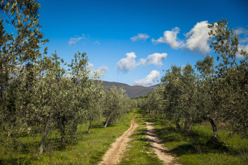 Italia,Umbria,Olive, raccolta di olive nella campagna Umbra