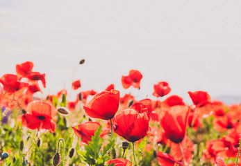 majestic view on the poppy blooming field on a summer day. poppy flowers close up