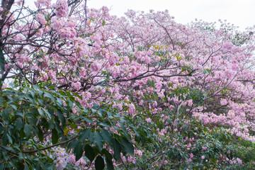Flower pink tree landmark in park, bangkok, thailand, Tabebuia r