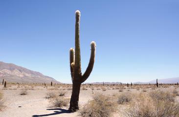 Cactus forest in Salta, Argentina.