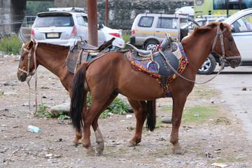 Pair of horse
