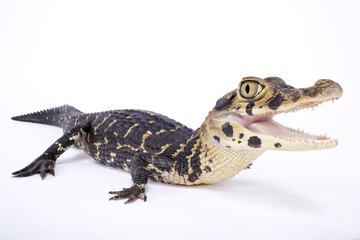 Black caiman,Melanosuchus niger