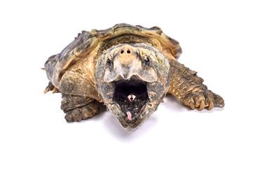 Alligator snapping turtle,Macrochelys temminckii
