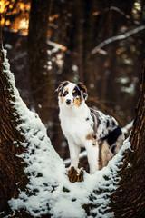 Australian Shepherd puppy in winter
