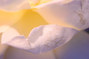 Floral natural harmonic bright soft color macro of yellow white rose blossom leaves / petals with very fine texture, structure, warm tones, confidence harmony peace warmth relaxing innocence balance
